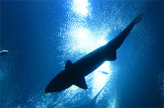 File photo: Sharks swimming overhead - seen from the Ocean Voyager tunnel at the Georgia Aquarium.