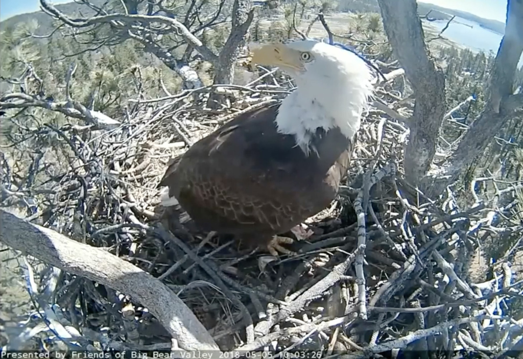 Screen grab from a camera placed by an eagle's nest in the San Bernardino National Forest. Stormy the bald eagle chick fell from the nest in April 2018 but returned in May 2018.