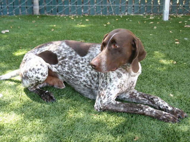 This German pointer named Hunter was rescued from a hot car in WeHo that also happened to contain large amounts of drugs and cash.