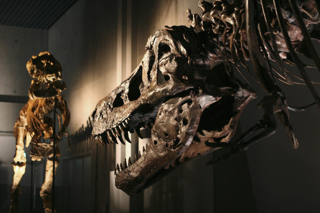 A Tarbosaurus from Mongolia (L) is seen next to the world's largest Tyrannosaurus Rex, named Sue, is seen at the Dinosaur Expo 2005 after it's assembly was completed at the National Science Museum on March 16, 2005 in Tokyo, Japan. Fossil hunter Sue Hendrickson discovered Sue in 1990 and the Field Museum in Chicago purchased Sue at public auction in 1997.