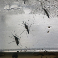 Aedes aegypti mosquitos in various stages of development displayed in Brazil in 2016.