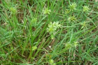 Nut grass can take over a yard, as it did at marine biologist Pat Krug's house.
