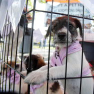 A puppy waits at an adoption event in Miami.