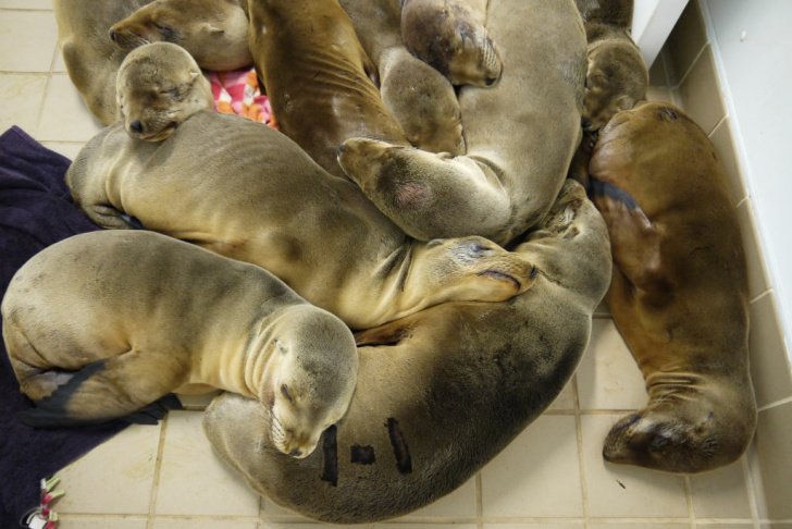 Malnourished and dehydrated sea lion pups recovering in the