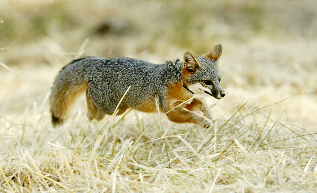 A Santa Catalina Island fox pup dashes into the wilderness after being released on Santa Catalina Island, CA. The Catalina Island Conservancy released 10 captive-bred pups from one breeding season in an effort to reestablish the subspecies.