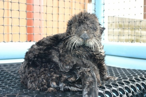 Olive in care after being found stranded on beach 2009.