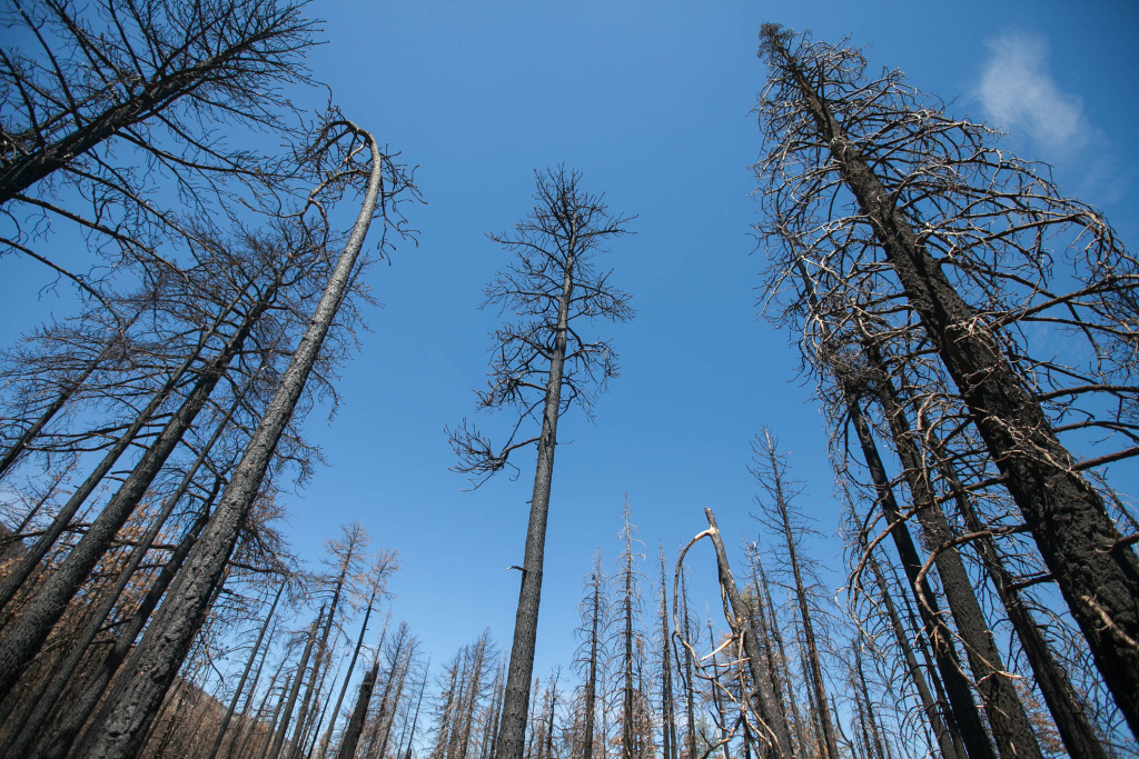 Burned trees—mostly Jeffrey pines and White firs—on Poopout Hill, a high-intensity burn area one year after the Lake Fire in the San Bernardino National Forest on Wednesday, July 20, 2016.