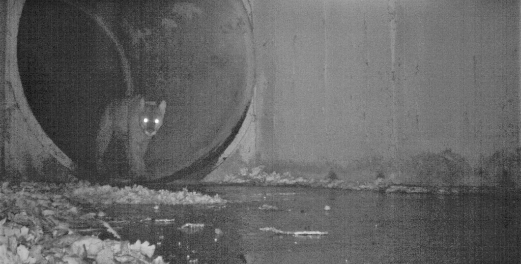 An adult male mountain lion, dubbed P-64, crossed through the culvert of the 101 freeway on Feb. 28, about 45 miles west of downtown Los Angeles, and is roaming the Santa Susana Mountains.