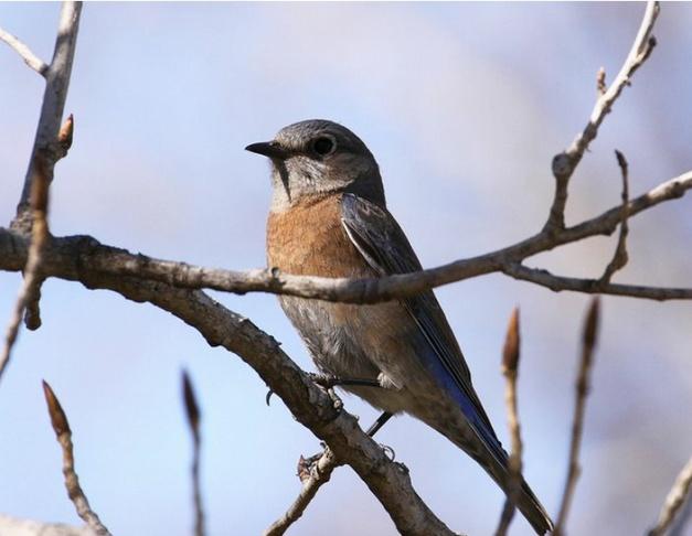 Western Bluebird at Sepulveda Basin Wildlife Refuge.