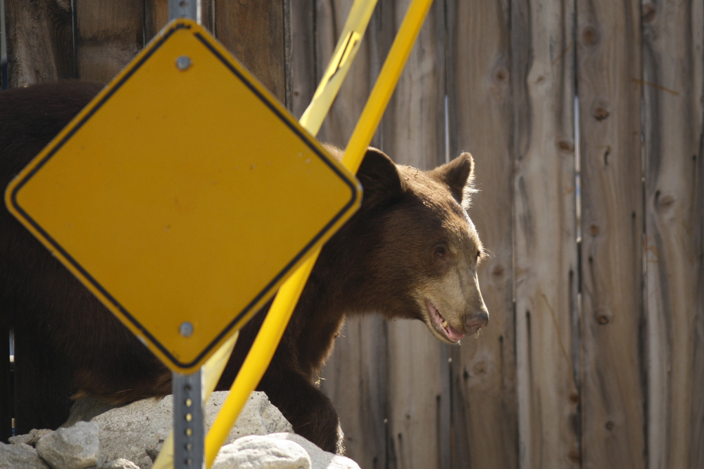 File photo: An adult black bear walks through a residential neighborhood on September 9, 2012 in Montrose, California.