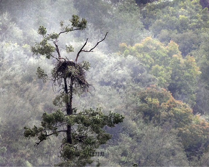 Eagles nest atop a tall tree in the Angeles National Forest