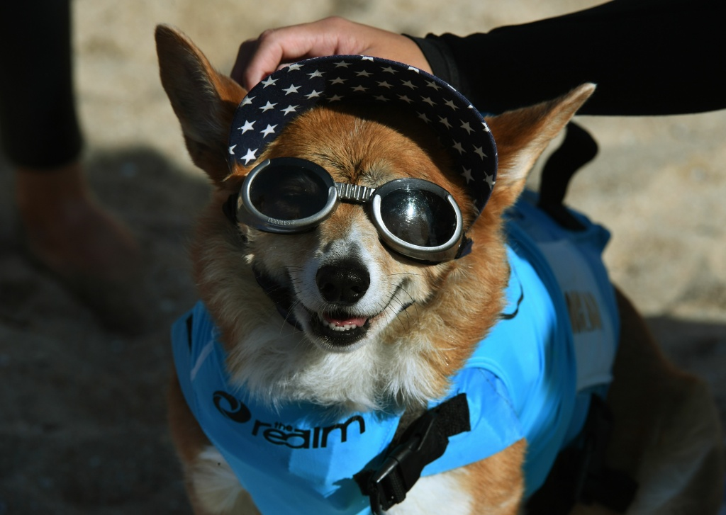 Surf dog Jojo the Corgi waits for her heat during the 9th annual Surf City Surf Dog event at Huntington Beach, California on September 23, 2017.