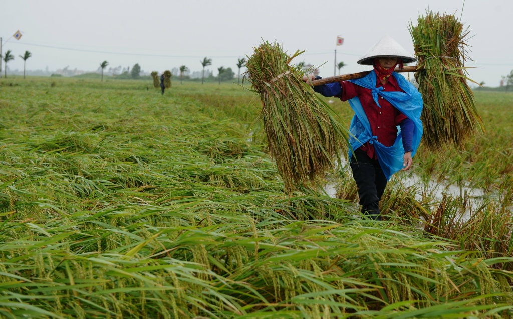 Farmers drag plastic sheeting with newly harvested rice on a rice field hours prior the arrival of Typhoon Nesat in Thai Thuy district, northeastern province of Thai Binh on September 30, 2011.