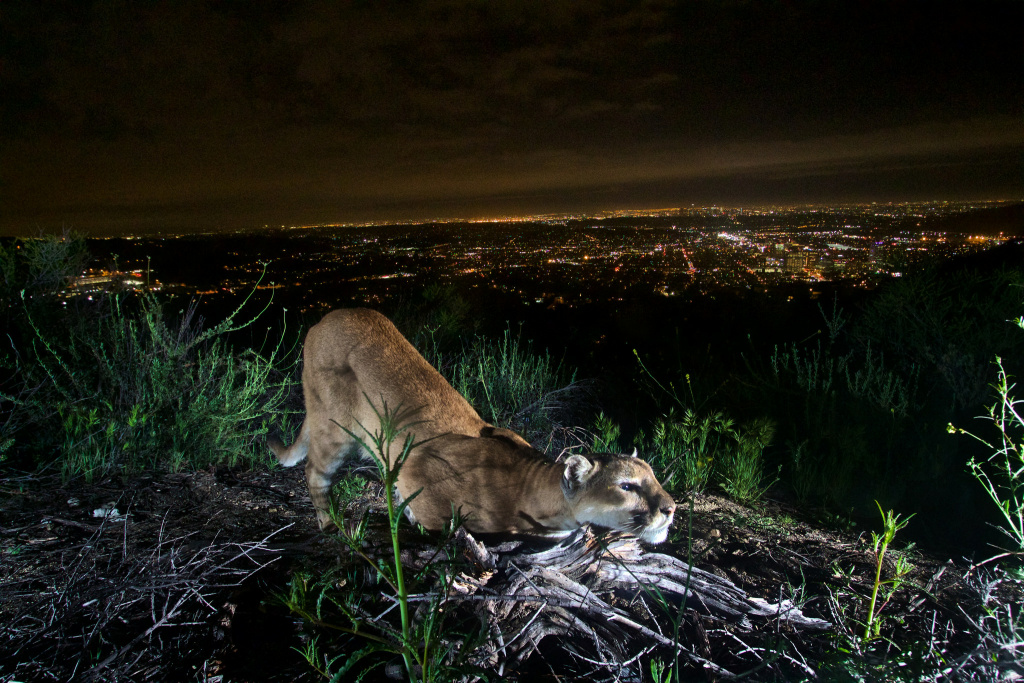 This uncollared adult female mountain lion is