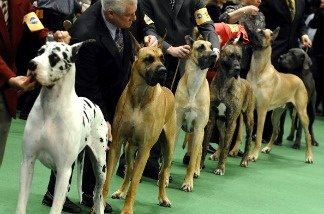 Great Danes line up in the ring during the 135th Westminster Kennel Club Dog Show at Madison Square Garden in New York.