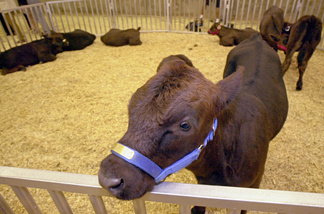 A calf from a herd of eight genetically identical cloned calves is presented during a press conference June 26, 2001 at the University of Georgia in Athens.