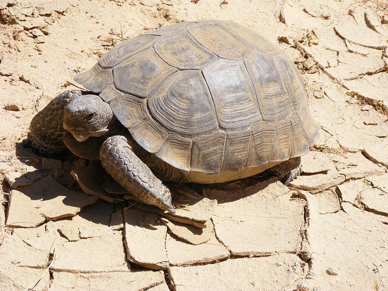 A desert tortoise photographed in the Mojave desert.