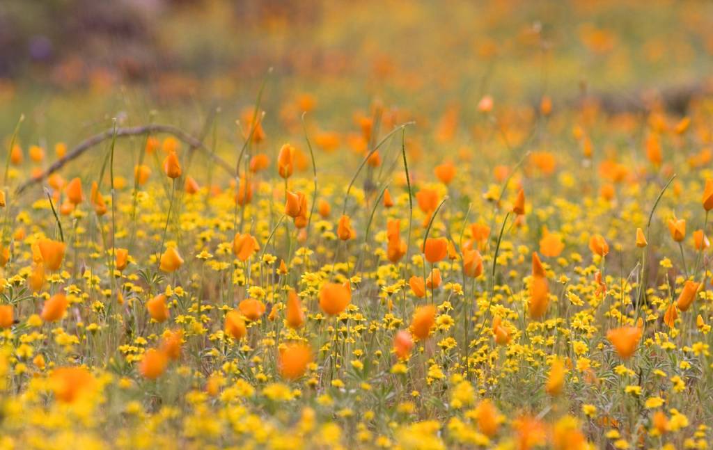 California wildflowers