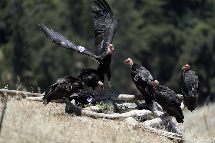 In this Wednesday, June 21, 2017 photo, a California condor takes flight in the Ventana Wilderness east of Big Sur, Calif. Three decades after being pushed to the brink of extinction, the California condor is staging an impressive comeback, thanks to captive-breeding programs and reduced use of lead ammunition near their feeding grounds.
