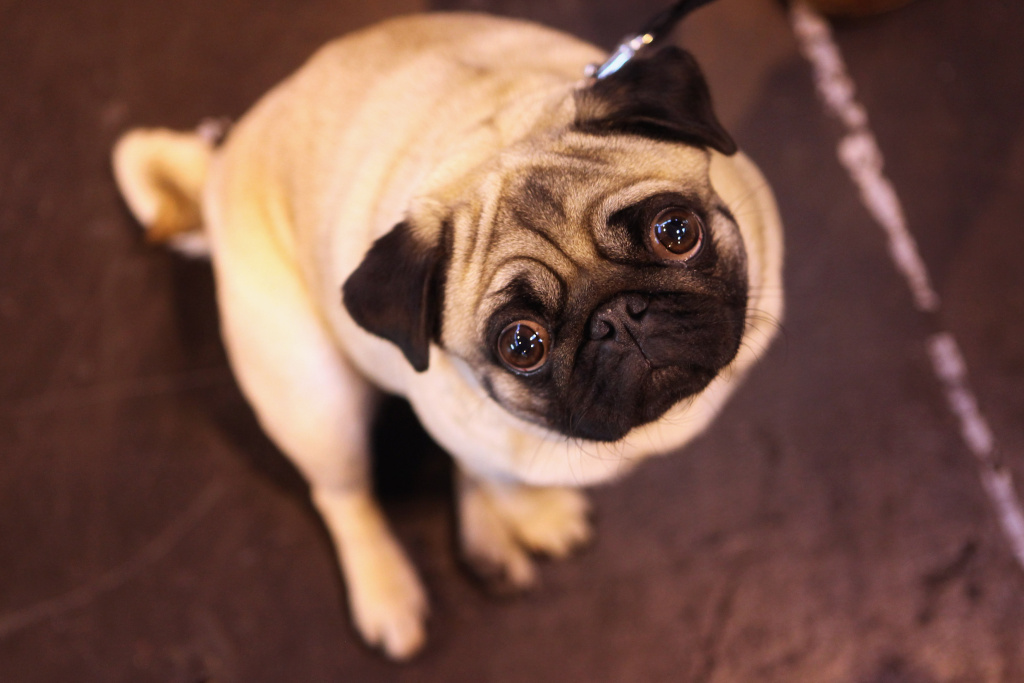 File: A pug dog stands in the exhibition hall on the final day of the annual Crufts dog show at the National Exhibition Centre on March 13, 2011 in Birmingham, England.