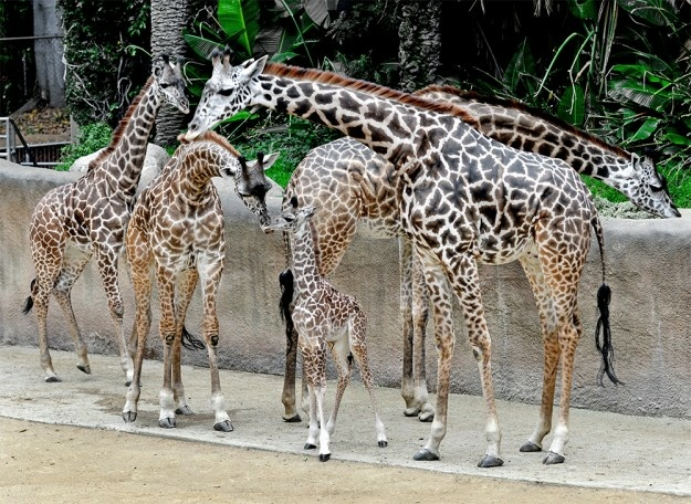 A giraffe calf recently born at the Los Angeles Zoo is shown among the herd.