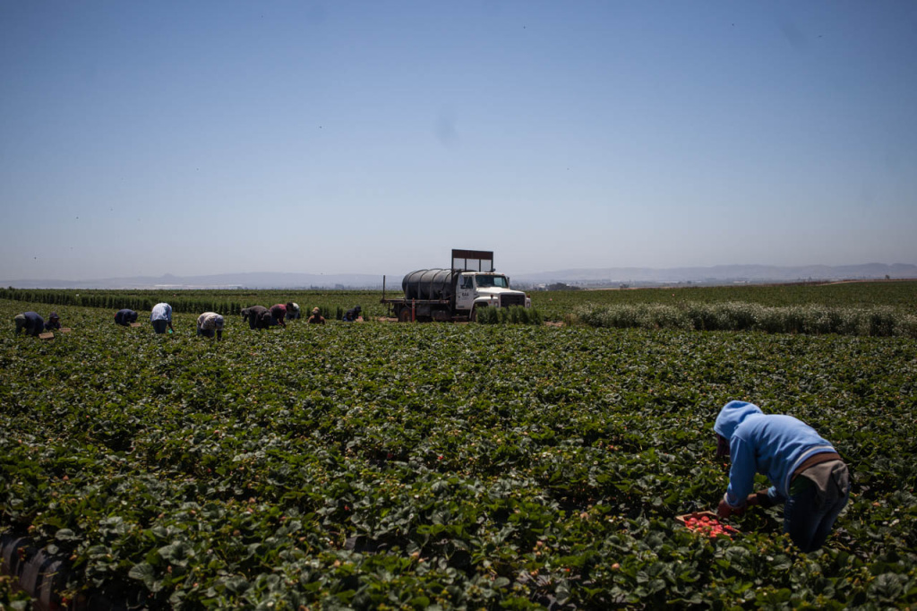 Migrant workers pick strawberries destined for Walmart stores across Southern California at a farm north of Santa Maria.