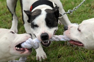 San Bernardino is trying to pass a law requiring all pit bull owners to spay and neuter their dogs