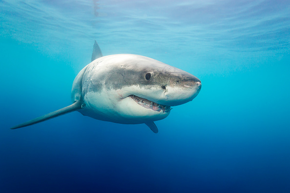 A great white shark photographed on September, 8, 2015 near Guadalupe Island, Mexico.