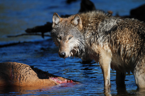 File: A wild gray wolf (Canis lupus) stands over its prey. Yellowstone National Park.