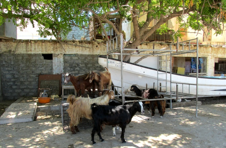 Goats seek shade from midday sun in Tiwi a fishing village