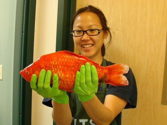 University of Nevada, Reno researcher Christine Ngai holds a goldfish found in Lake Tahoe.