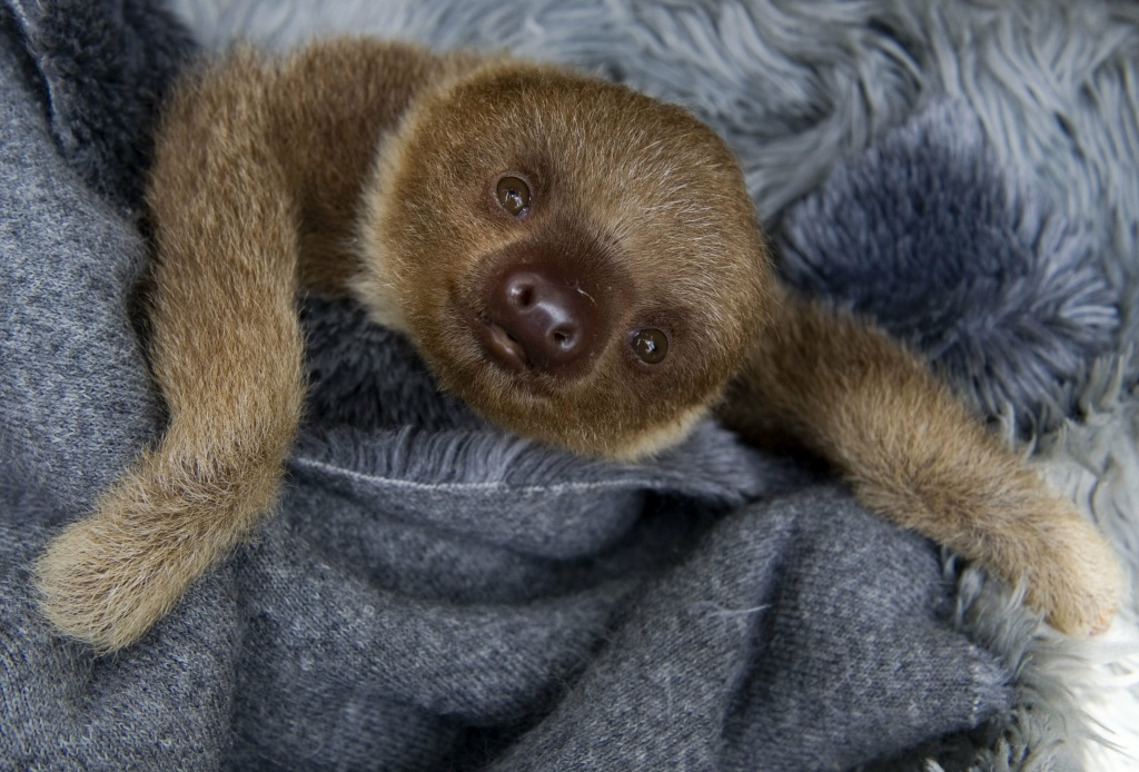 A baby two-toed sloth (Choloepus) at the Aiunau Foundation in Caldas, some 25 km south of Medellin, Antioquia department, Colombia on September 15, 2012.