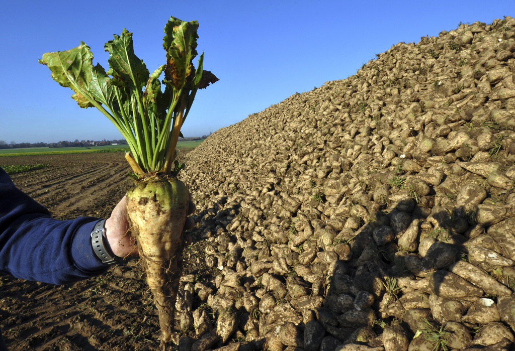 A farmer shows a sugar beet (Beta Vulgaris) after it was harvested in the French northern town of Lilliers, on November 17, 2011. Last rainy summer is synonymous with a record harvest for northern France beet greemers.
