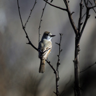 An unidentified songbird rests on charred branches near a desert marsh as recovery from a 2005 wildfire continues at Big Morongo Wildlife Preserve on April 11, 2007 in Morongo Valley, California.