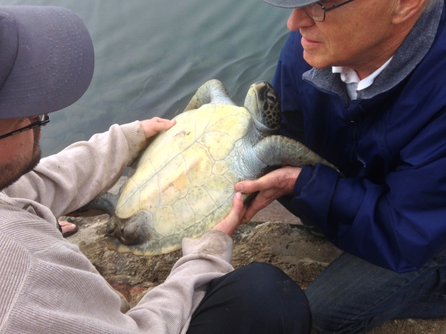 A recently rescued sea turtle is recovering on the banks of the San Gabriel River.