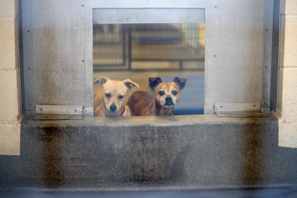 Chihuahuas await adoption at a Los Angeles Department of Animal Services shelter.
