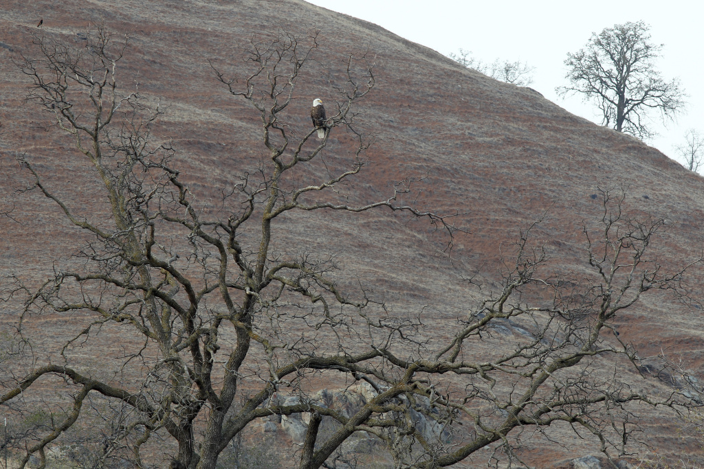 A bald eagle perches in an oak tree on hills of pastureland that has turned of dirt and dead grass on near Visalia. Now in its third straight year of unprecedented drought, California is experiencing its driest year on record, dating back 119 years and possible the worst in the past 500 years.