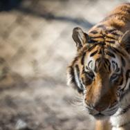 01 - Tippi Hedren Shambala Preserve Feline Cat Tiger Lion