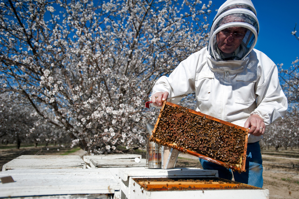 Dr. Gordon Wardell, beekeeper for Paramount Farms' almond farms in Lost Hills, Calif., pulls out a palate of rented honeybees. Paramount is the largest almond grower in the nation with 46,000 acres of almond trees across the San Joaquin Valley.