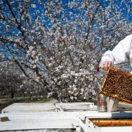 Almond Farm Bees - 1