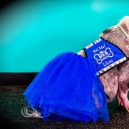 LiLou the pig in her WAG brigade vest and tutu.