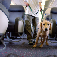 Student guide dog Max, a Golden Retreiver puppy, pulls his handler down the aisle of a plane during their training program March 27, 2004 at New Liberty International airport in New Jersey.