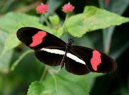 A Heliconius erato butterfly.  LEARNABOUTBUTTERFLIES.COM
