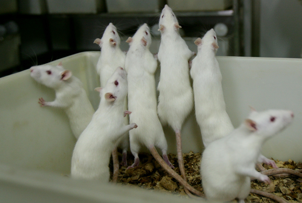 CHONGQING, CHINA - FEBRUARY 16: (CHINA OUT) Female white rats stand in a basin at an animal laboratory of a medical school on February 16, 2008 in Chongqing Municipality, China. Over 100,000 rats and mice are used in experiments every year for pharmaceutical research in the lab, where the temperature is kept at 24 degrees centigrade. (Photo by China Photos/Getty Images)