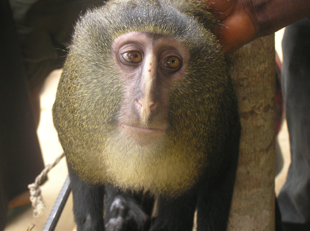 Portrait of adult male Lesula Monkey, or Cercopithecus lomamiensis. Discovered in the Lomami Basin of the Democratic Republic of the Congo, the lesula is an Old World monkey well known to locals but newly known to science.