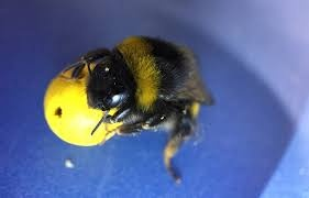 Bee holding a mini-ball