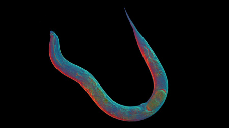 When it comes to sex, the roundworm Diploscapter pachys is a loner.