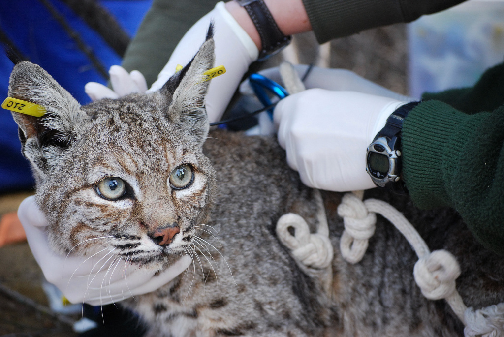 The Santa Monica Mountains National Recreation Area began studying bobcats in 1996, making it the longest-running study of the animal. The study examines the behavior, ecology and conservation of bobcats, in particular how urbanization has affected the bobcat population in the Santa Monica Mountains and Simi Hills.