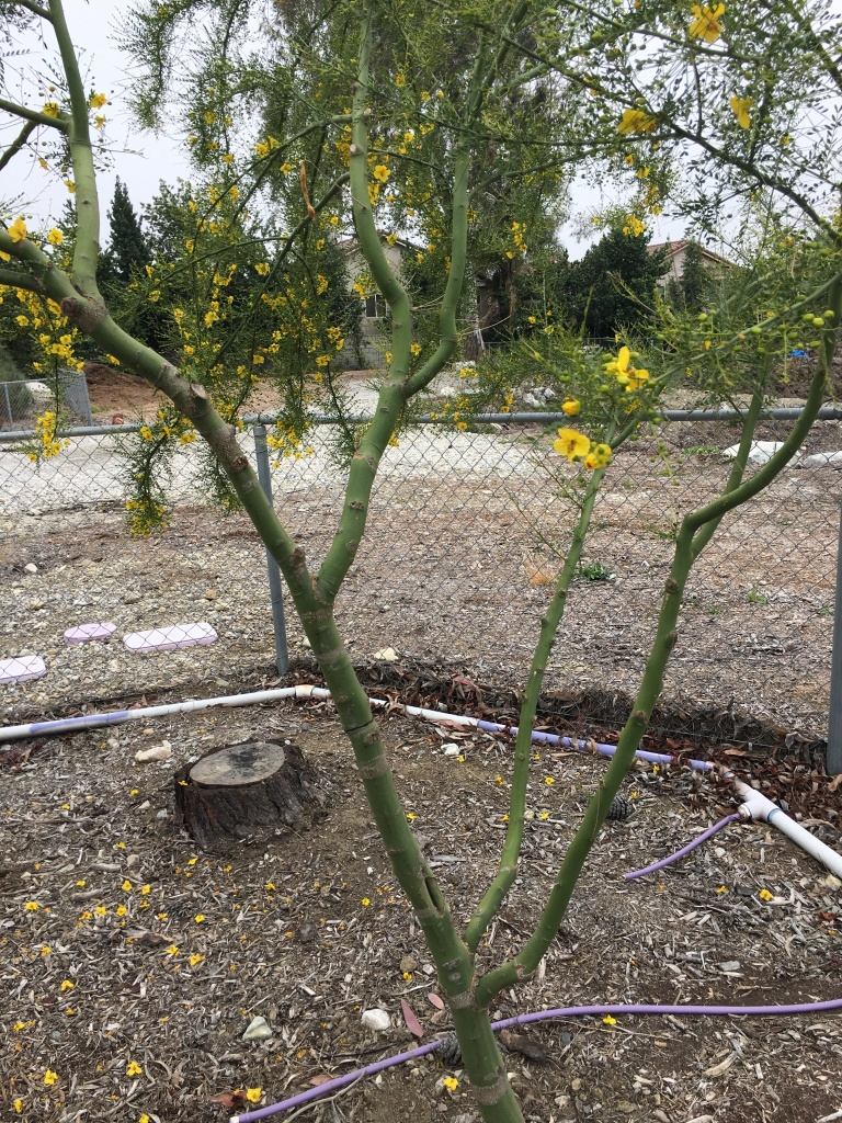 The Desert Museum Palo Verde tree is one of the 12 species selected for the USFS and UC Cooperative Extension's 20-year study. It's pictured growing on a test plot at the Chino Basin Water Conservation District in Montclair, CA on May 2, 2018.