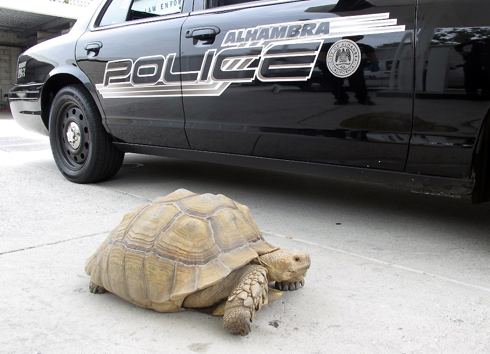 This Aug. 2, 2014 photo provided by the Alhambra Police Department shows a giant 150-pound tortoise who was found wandering the streets of Alhambra, Calif. The tortoise was lifted into a patrol car and taken to the station, where it was later picked up by Los Angeles County Animal Care and Control in Downey.